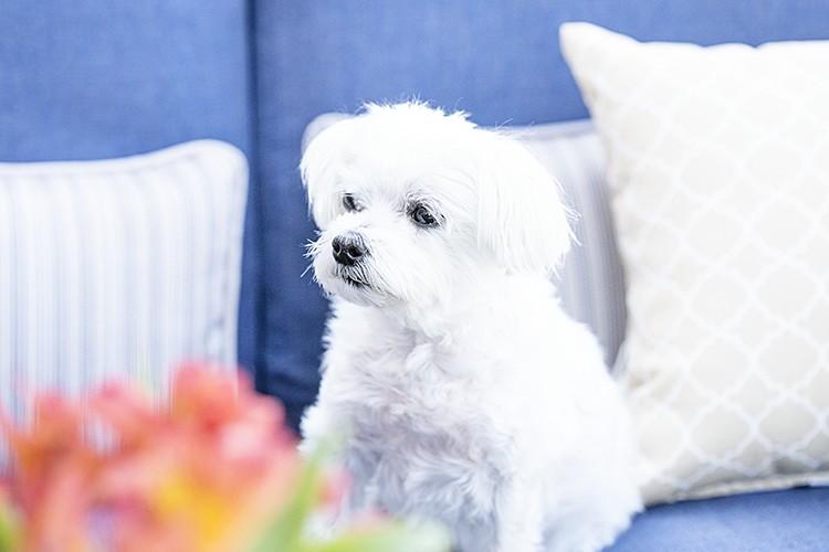 White dog on a blue sofa
